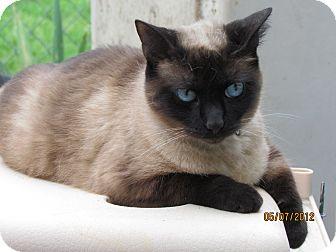 Siamese Cat for adoption in Providence, Rhode Island - Anya