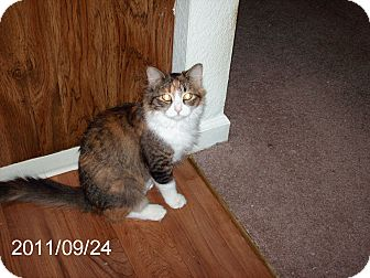 Calico Cat for adoption in NEWCASTLE, California - Ellie May