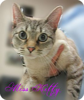 Siamese Cat for adoption in Beaumont, Texas - Miss Kitty