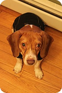 Beagle Mix Dog for adoption in Rexford, New York - Huey