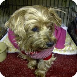 Yorkie, Yorkshire Terrier Mix Dog for adoption in Columbus, Ohio - Tia