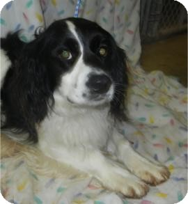 Cocker Spaniel Mix Dog for adoption in Antioch, Illinois - Dodson ADOPTED!!