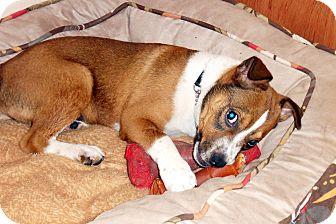 Boxer/Labrador Retriever Mix Puppy for adoption in Big Canoe, Georgia - Mulligan