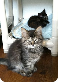 Domestic Longhair Kitten for adoption in Greensburg, Pennsylvania - Hailey