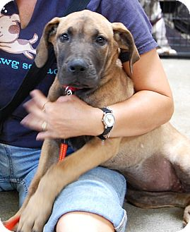 Great Dane/Labrador Retriever Mix Puppy for adoption in West Los Angeles, California - Tickles