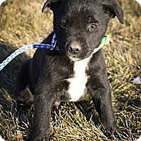 Adopt A Pet :: Perky PlumPants - Broomfield, CO