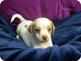 Maltese/Terrier (Unknown Type, Small) Mix Puppy for adoption in El Segundo, California - Bruce