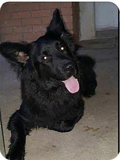 German Shepherd Dog/Australian Shepherd Mix Dog for adoption in East Hartford, Connecticut - Romeo-pending adoption