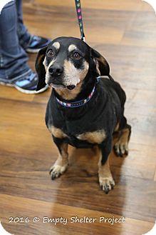 Hound (Unknown Type)/Basset Hound Mix Dog for adoption in Manassas, Virginia - Bruno