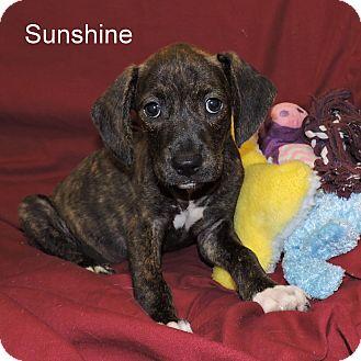 Catahoula Leopard Dog/Dachshund Mix Puppy for adoption in Slidell, Louisiana - Sunshine
