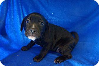 Labrador Retriever/Pug Mix Puppy for adoption in Joshua, Texas - Anakin
