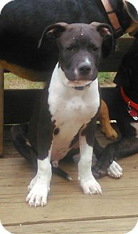Pit Bull Terrier/Labrador Retriever Mix Puppy for adoption in North Brunswick, New Jersey - Troy