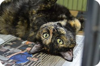 Domestic Shorthair Cat for adoption in Brooklyn, New York - Helen