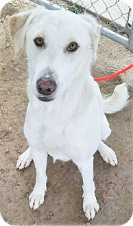 Labrador Retriever/Shepherd (Unknown Type) Mix Dog for adoption in Fruit Heights, Utah - Bubba