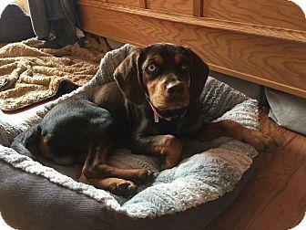 Doberman Pinscher/Labrador Retriever Mix Puppy for adoption in Lima, Pennsylvania - Ace