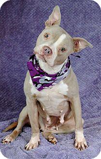 Pit Bull Terrier Dog for adoption in West Springfield, Massachusetts - Franzi
