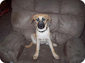 Bullmastiff/Newfoundland Mix Puppy for adoption in Pipe Creed, Texas - Shiner