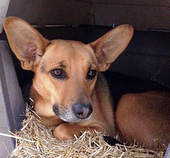 German Shepherd Dog/Carolina Dog Mix Dog for adoption in Little Rock, Arkansas - Trimmy