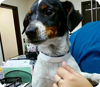 Jack Russell Terrier Mix Puppy for adoption in Homestead, Florida - Brody