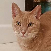 Domestic Shorthair Cat for adoption in Hammond, Louisiana - Peanut