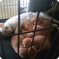 Adopt A Pet :: Orange Tabby Kitten #3 - Venice, FL