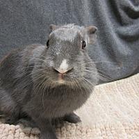 Adopt A Pet :: Cydney - Newport, DE
