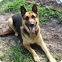 Adopt A Pet :: Loki - Green Cove Springs, FL
