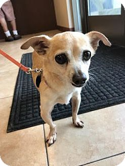 Chihuahua Mix Dog for adoption in San Luis Rey, California - CALVIN