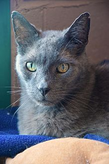 Domestic Shorthair Cat for adoption in Lakewood, Colorado - Smoke