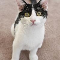 Adopt A Pet :: Bandit - Huntsville, AL