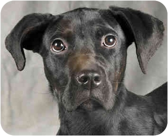 Great Dane Mix Puppy for adoption in Chicago, Illinois - Fiona