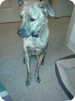 German Shepherd Dog Mix Dog for adoption in Medford, Massachusetts - Dream