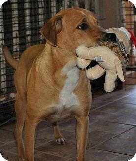 Labrador Retriever/Terrier (Unknown Type, Medium) Mix Dog for adoption in Miami, Florida - Carly
