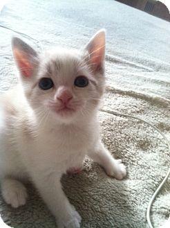 Domestic Shorthair Kitten for adoption in Brooklyn, New York - Queenie