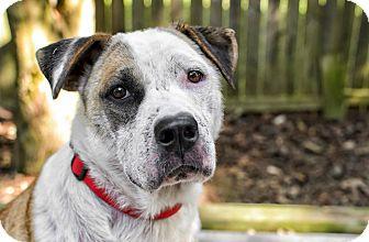 Akita/Labrador Retriever Mix Dog for adoption in Lancaster, Pennsylvania - Lily Engle