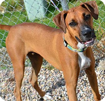 Boxer/Greyhound Mix Dog for adoption in Fruit Heights, Utah - Leo
