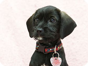 Schnauzer (Miniature)/Cavalier King Charles Spaniel Mix Puppy for adoption in Ile-Perrot, Quebec - Ruby