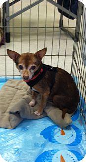 Chihuahua Mix Dog for adoption in Seattle, Washington - Coco