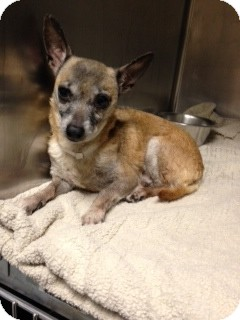 Chihuahua Dog for adoption in Long Beach, New York - Ginny