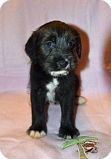 Schnauzer (Miniature)/Terrier (Unknown Type, Medium) Mix Puppy for adoption in Alabaster, Alabama - Baby Girl