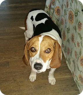 Beagle Mix Dog for adoption in Richmond, Virginia - Arnold