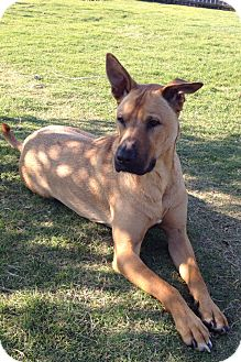 Shepherd (Unknown Type) Mix Dog for adoption in Hatifeld, Pennsylvania - Rebel