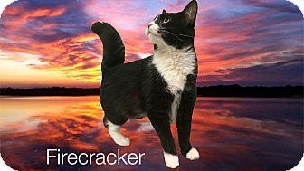 Domestic Mediumhair Cat for adoption in Collinsville, Oklahoma - Firecracker