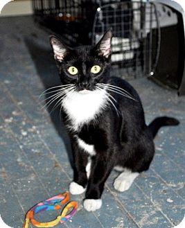 Domestic Shorthair Cat for adoption in Danbury, Connecticut - Cheetah