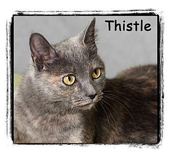 Domestic Shorthair Cat for adoption in Warren, Pennsylvania - Thistle