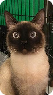 Siamese Cat for adoption in Hagerstown, Maryland - Jasmine