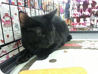 Domestic Shorthair Cat for adoption in Houston, Texas - Pikachu