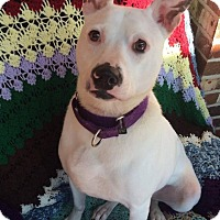 Pit Bull Terrier/Finnish Lapphund Mix Dog for adoption in Medford, New Jersey - Winter