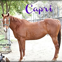 Quarterhorse Mix for adoption in Canyon Country, California - Capri