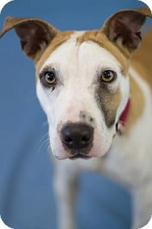 Pit Bull Terrier Mix Dog for adoption in Bradenton, Florida - Jefferson